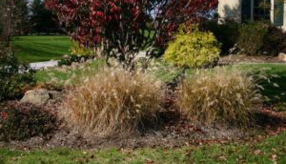 Pennisetum_alopecuroides_Autumn_45 1