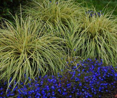 "Turzyca oszimska Carex oshimensis ""Evergold"""