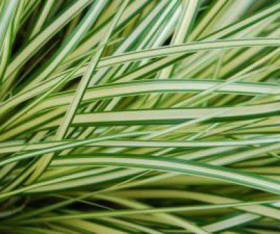 """Turzyca oszimska Carex oshimensis """"K2"""""""