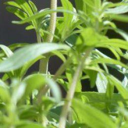 Bazylia (Ocimum basilicum), Cząber (Satureja), Gynostemma, Kocanka (Helichrysum), Kolendra (Coriandrum)…